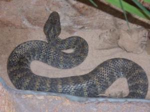 Hoe ga je te werk voor een (ratel)slang?